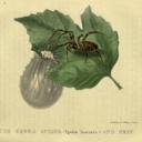 Scientific illustration mof a Zebra Spider