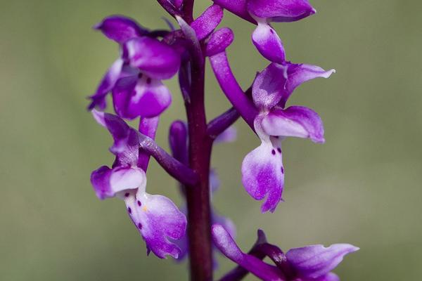 orchid mascula early purple orchid somerset
