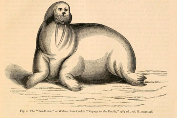 Scientific illustrations of a walrus and a fantastical sea creature
