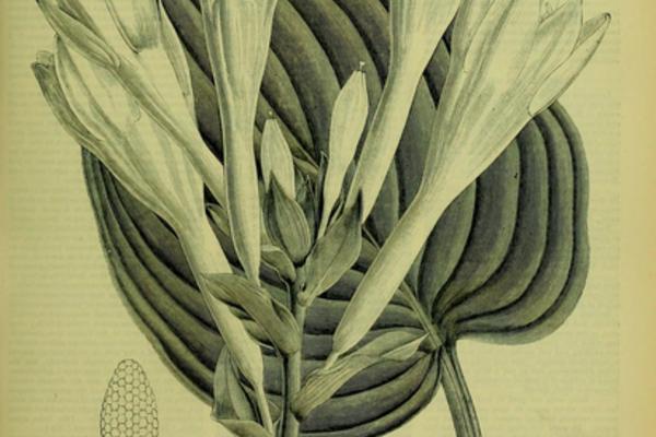 Scientific illustration of a flower