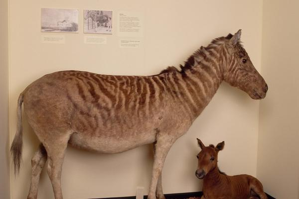 Display case showing a zebra and mule